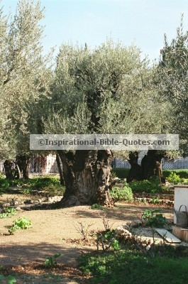 Garden of Gethsemane, The place where Jesus was arrested. (Matt 26:47-56)